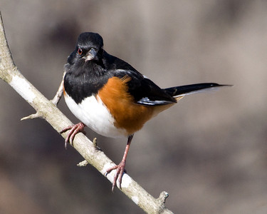 Towhee, Red-Eyed Rufous-Sided (m)