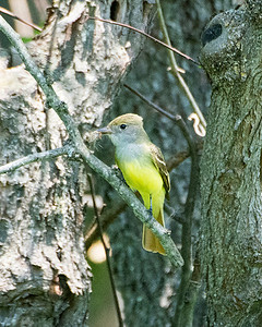 Great Crested Flycatcher MDX9016