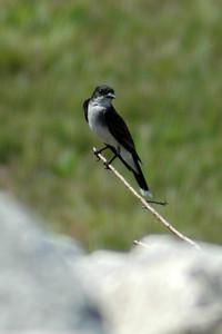 Kingbird 4458