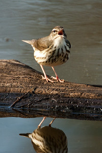 Louisiana Water Thrush - 1092
