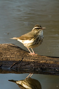 Louisiana Water Thrush 1093
