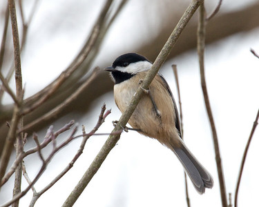 "Chickedee, D1757 ""Winter Chickade"" - I despise all chickadee and those who love them. I refuse to differentiate them."