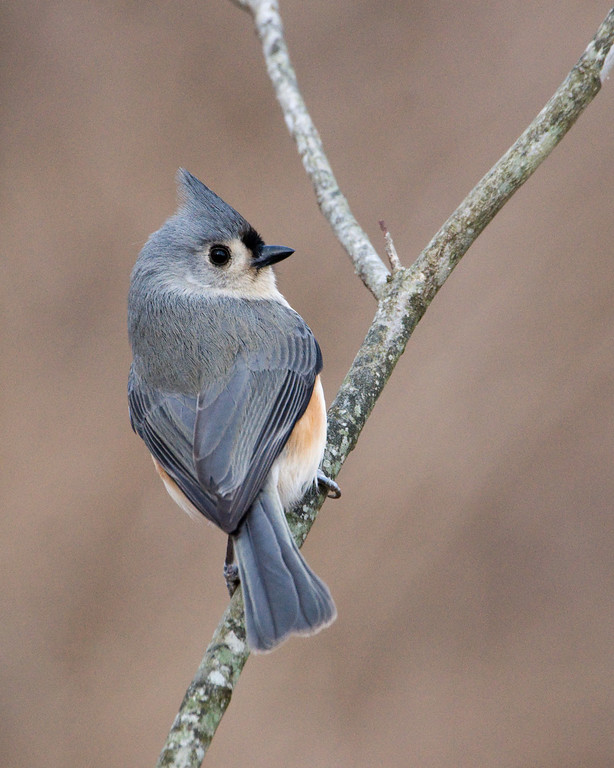 "Tufted Titmouse - D1728 ""Winter Titmouse"" - For me, the TT is second only to the nuthatch in winter entertainment value."