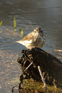 Louisiana Water Thrush - 1085