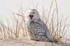 20180121_Snowy Owl_45