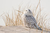 20180121_Snowy Owl_27