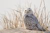 20180121_Snowy Owl_50