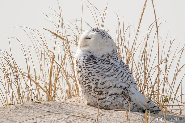 20180121_Snowy Owl_43