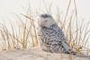20180121_Snowy Owl_33
