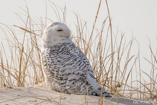 20180121_Snowy Owl_36
