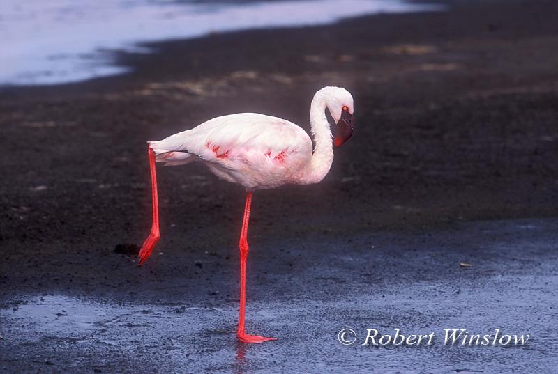 Lesser Flamingo, Phoneniconaias minor, Lake Nakuru National Park, Kenya, Africa