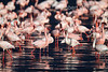 Lesser Flamingos, Phoneniconaias minor, Lake Nakuru National Park, Kenya, Africa