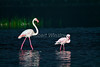 Greater Flamingo, Phoenicopterus ruber, and Lesser Flamingo, Phoeniconaias minor, Lake Nakuru National Park, Kenya, Africa