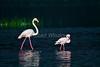 Greater Flamingo, Phoenicopterus ruber, and Lesser Flamingo, Phoeniconaias minor, Lake Nakuru National Park, Kenya, Africa