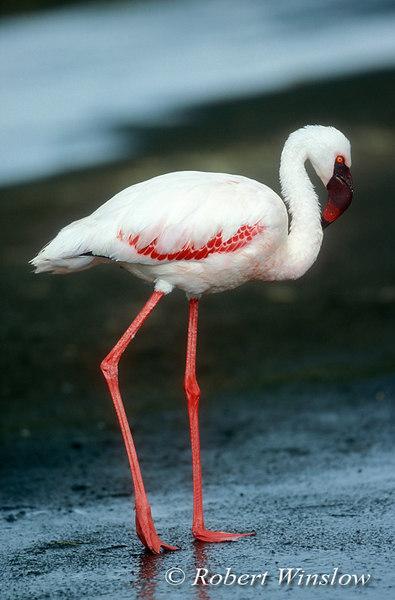 Immature Lesser Flamingo, Phoneniconaias minor, Lake Nakuru National Park, Kenya, Africa