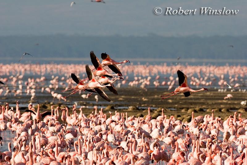 Lesser Flamingos, Phoneniconaias minor, Lake Nakuru National Park, Kenya, Africa