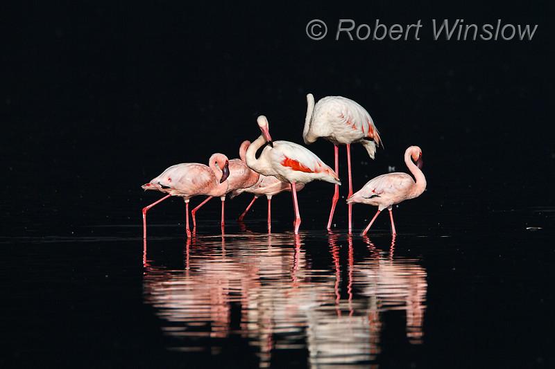 Greater and Lesser Flamingos, Lake Nakuru National Park, Kenya, Africa