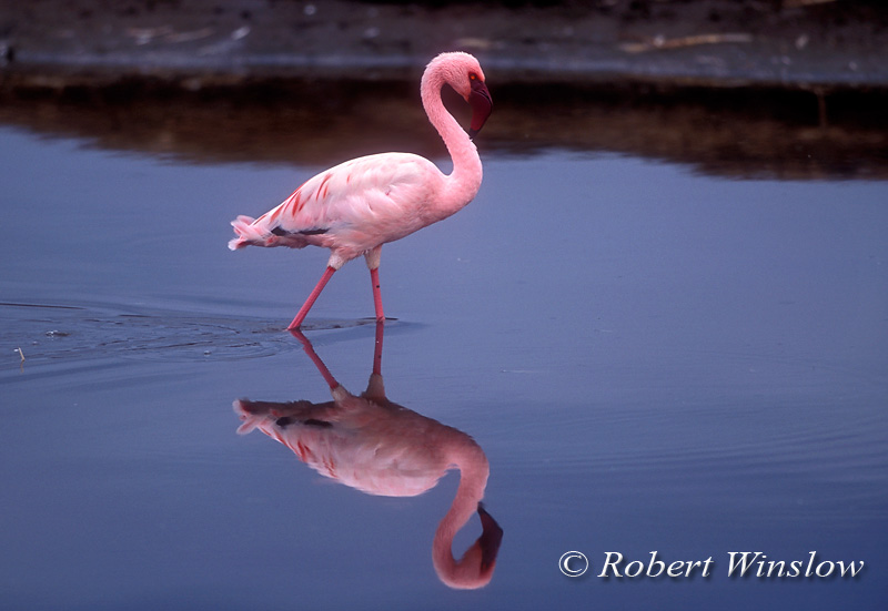 Lesser Flamingo, Phoneniconaias minor, Lake Nakuru National Park, Kenya, Africa