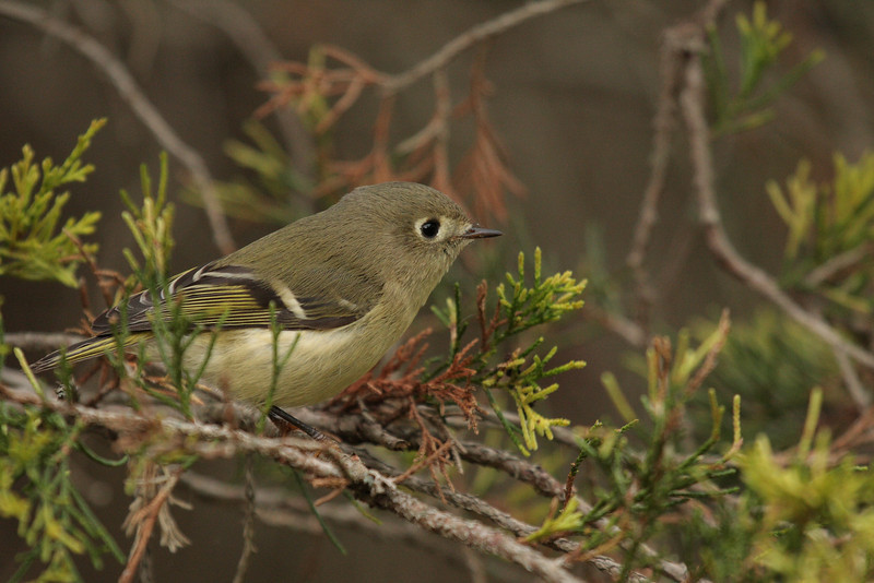 Curious and cooperative Ruby-crowned Kinglet, Lake Shenandoah 10/10/09 in cedar.
