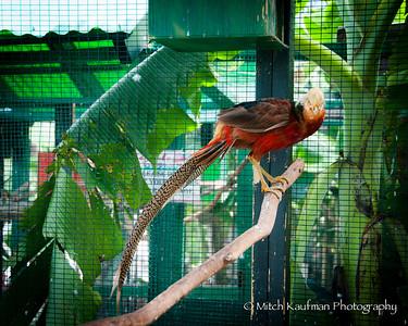 Golden Pheasant-9473