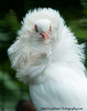 Fancy White Pigeon 11x14-7875