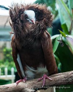 Fancy Brown Pigeon 11x14-7870