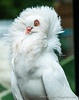 Fancy White Pigeon  11x14-7857