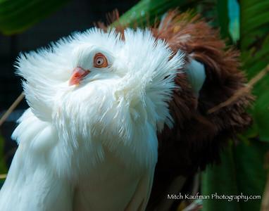 Fancy White Pigeon 11x14-9423