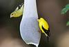 Goldfinches on thistle feeder (Carduelis tristis)