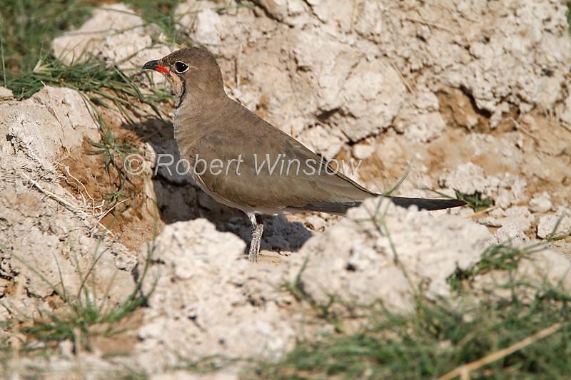 Collard Pratincole, Glareola pratincola, Amboseli National Park, Kenya, Africa
