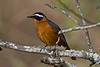 White-browed Robin Chat,  Cossypha heuglini, Masai Mara National Reserve, Kenya, Africa, also know as Heuglin's Robin