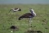 Kori Bustard, Ardeotis kori, being dive bombed by Black-winged Lapwing or Greater Black-winged Lapwing or Black-winged Plover, Vanellus melanopterus, Masai Mara, Kenya, Africa