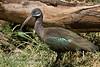 Ibis, Hadada Ibis, Bostrychia hagedash brevirostris, Samburu National Reserve, Kenya, Africa, Ciconiiformes Order, Threskiornithidae Family