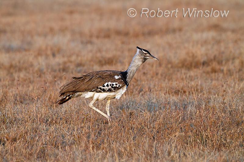 Kori Bustard, Ardeotis kori struthiunculus. Masai Mara, Kenya, Africa, Gruiformes Order, Otididae Family, The Heaviest Flying Bird in Tropical Africa. Males weigh up to 18 kg or more.