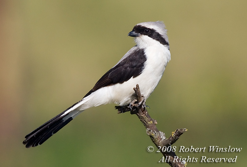 Fiscal Shrike, Grey-backed Fiscal Shrike, Lanius e. excubitoroides,  Lake Nakuru National Park, Kenya, Africa, Passeriformes Order, Laniidae Family