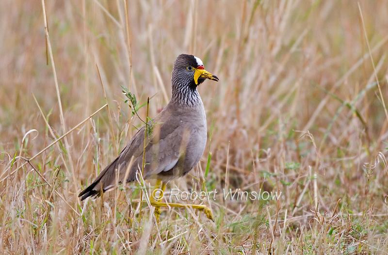 African Wattled Lapwing, Senegal Wattled Plover, Vanellus senegallus, Masai Mara National Reserve, Kenya, Africa