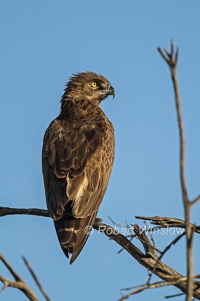 Brown Snake-Eagle, Circaetus cinereus, Masai Mara, Kenya, Africa