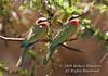 Bee-eater, Two White-fronted Bee-eaters (Merops b. bullockoides), Lake Nakuru National Park, Kenya, Africa, Coraciiformes Order, Meropidae Family
