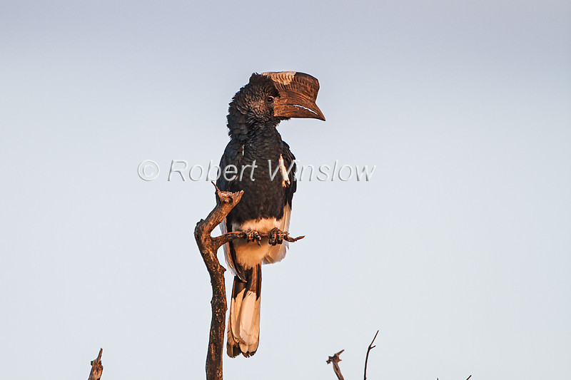 Black and white-casqued Hornbill, Masai Mara National Reserve, Kenya, Africa