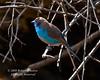 Red-cheeked Cordon-bleu, Uraeginthus bengalus, Lake Nakuru National Park, Kenya, Africa, Passeriformes Order, Estrildidae Family