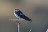 Wire-tailed Swallow, Hirundo smithii, Masai Mara National Reserve, Kenya, Africa