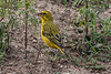 Brimstone Canary or Bully Canary, Crithagra sulphuratus, Great Rift Valley, Kenya, Africa