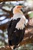 Vulture, Palm-nut Vulture, Gypohierax angolensis, Samburu National Reserve, Kenya, Africa, Falconiformes Order, Accipitridae family