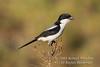 Fiscal Shrike, Taita Fiscal Shrike, Lanius nubicus, Samburu National Reserve, Kenya, Africa, Passeriformes Order, Laniidae Family