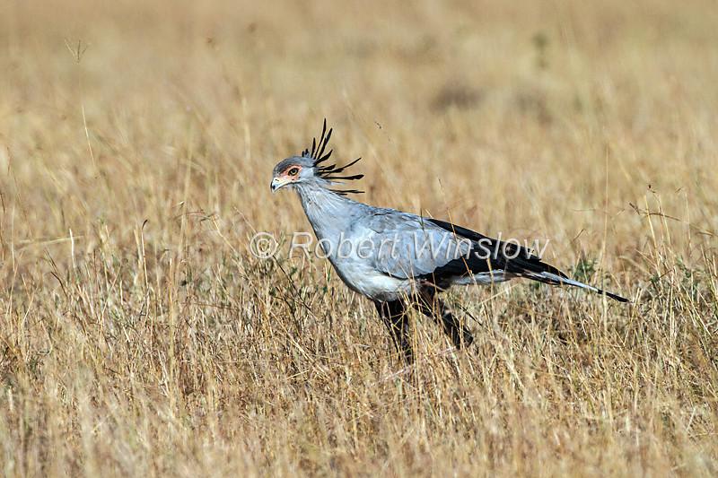 Secretary Bird, Sagittarius serpentarius, Masai Mara National Reserve, Kenya, Africa