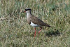 Crowned Lapwing or Crowned Plover, Vanellus coronatus, Lake Nakuru National Park, Kenya, Africa