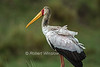 Yellow-billed Stork, Mycteria ibis, Masai Mara National Reserve, Kenya, Africa