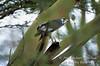 Buzzard, Augur Buzzard, Buteo augur, with a Green Mamba Snake in its mouth,  Lake Nakuru National Park, Kenya, Africa, Falconiformes Order, Accipitridae Family