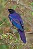 Ruppell's Long-tailed Starling, Lamprotornis purpuropterus, Masai Mara National Reserve, Kenya, Africa, Passeriformes Order, Sturnidae Family