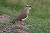 Crowned Lapwing or Crowned Plover, Vanellus coronatus, Samburu National Reserve, Kenya, Africa, Charadriiformes Order, Charadriidae Family